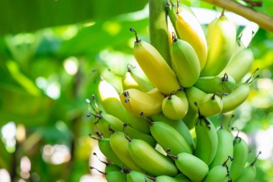 banana growers